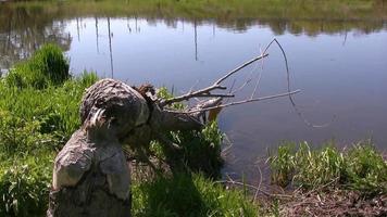 restes d'arbres tombés après que des castors aient mâché video