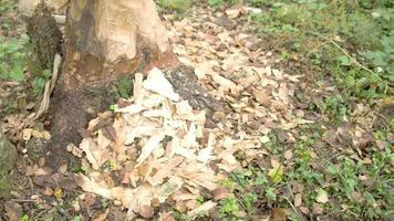 le tronc de l'arbre est mangé par le castor fs700 4k video
