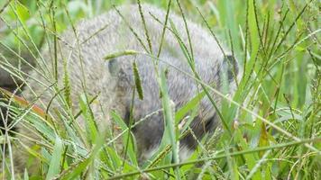 marmota comendo grama nas montanhas do cume azul perto de Asheville