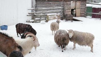 Pastoreo de ovejas y cabras en la granja en invierno para comer. video