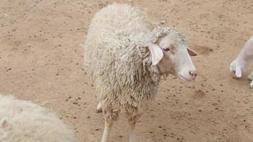 Schafe und Lämmer laufen. Schaffarm
