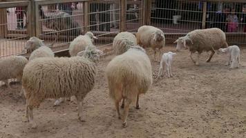 Ovejas y corderos caminando. granja de ovejas video
