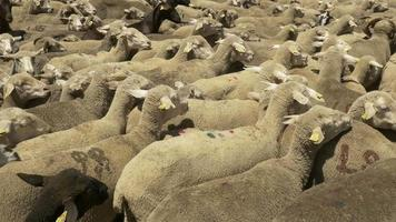 flock of merino sheeps video
