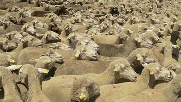 gregge di pecore merino