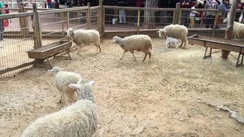 ovelhas e cordeiros andando. Fazenda de ovelhas video