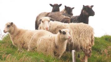 Schafe video