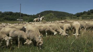 pastor con rebaño de ovejas merinas video