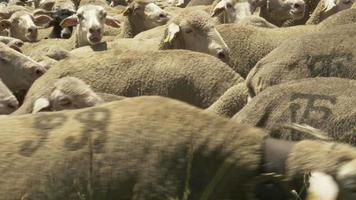Shepherd with flock of merino sheeps video
