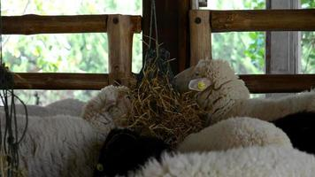 ovelha video