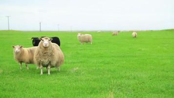 pecore da pascolo
