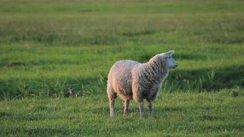 ovelhas pastando video