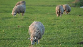 ovelhas pastando no prado video