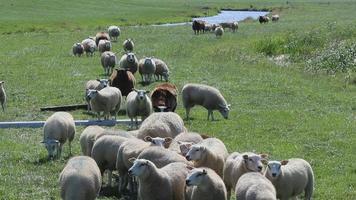 muitas ovelhas no prado video