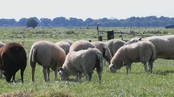 ovelhas pastando e olhando video