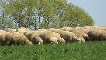 gregge di pecore su un prato