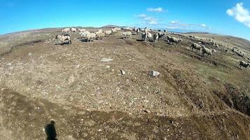 gregge di pecore su un prato - video d'archivio