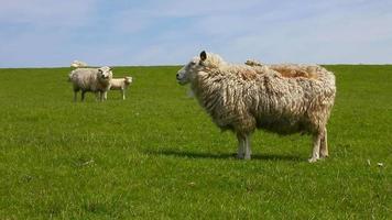 ovelhas em um dique