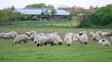 gregge di pecore in un campo