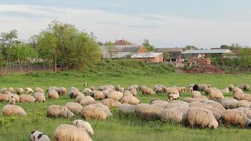 gregge di pecore sul prato verde