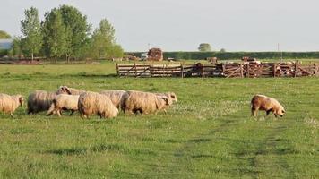 ovelha correndo video