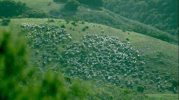 gregge di pecore al pascolo su una collina video