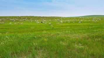 Flock of sheep on grassland video