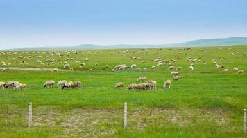 rebanho de ovelhas na pastagem video