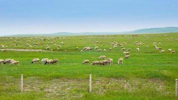 Flock of sheep on grassland video