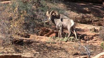 Desierto de borrego cimarrón carneros en celo