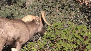 Desert bighorn Sheep Ram Feeding