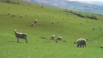 fattoria di pecore