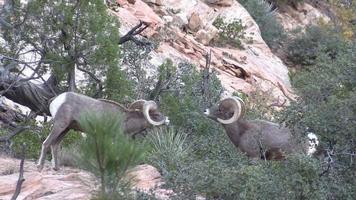 Desert Bighorn Rams in the Rut