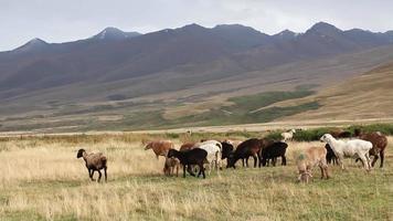 pastoreo de ovejas.