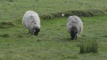 Irish Sheep video