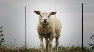 comer ovejas