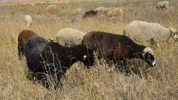 Schafe schlemmen