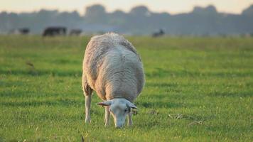 pastando ovelhas video