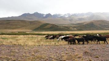 pastoreio de ovelhas. video