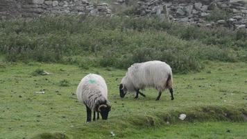 oveja irlandesa video