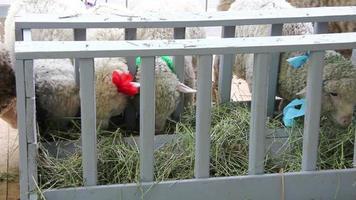 ovejas blancas