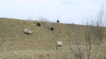 pecore al pascolo video