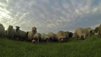 gregge di pecore al pascolo al tramonto