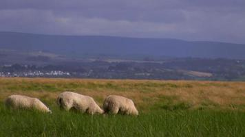 pecore al pascolo in erba sulla collina