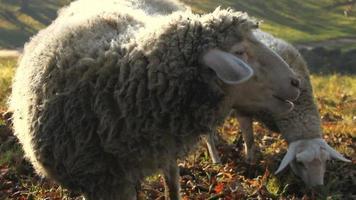 pecore da masticare cibo da vicino video