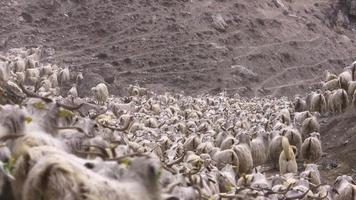 le capre stanno correndo verso il pascolo video