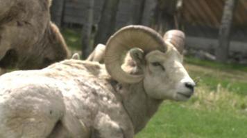 Grand mouton corne paissant devant garage