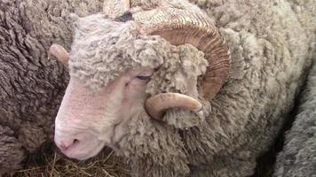 Closeup of a fully developed ram from the Merino sheep breed