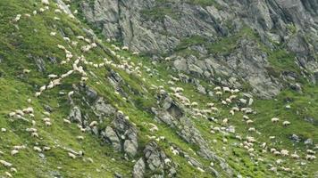 sheep on mountain rocks