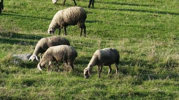 rebaño de ovejas 4k a video hd
