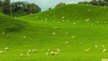 lasso di tempo - gruppo di pecore al pascolo sulle colline